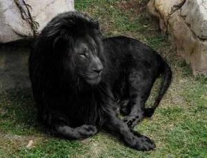 leao preto - A farsa do leão negro