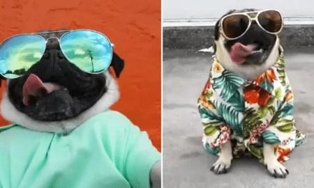 """despacito dog pug 450x270 - """"Despacito"""" versão canina"""