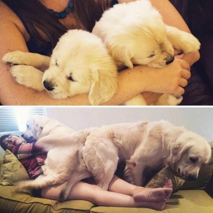 dogs growing up before after user submissions 118 594b6f6711ab8  700 - Fotos de cachorros adultos quando era filhote destaca-se nas redes sociais