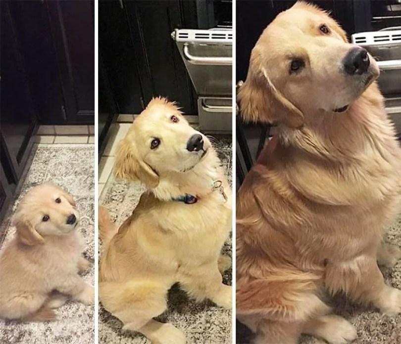 dogs growing up before after user submissions 95 594a878a38bf7  700 - Fotos de cachorros adultos quando era filhote destaca-se nas redes sociais