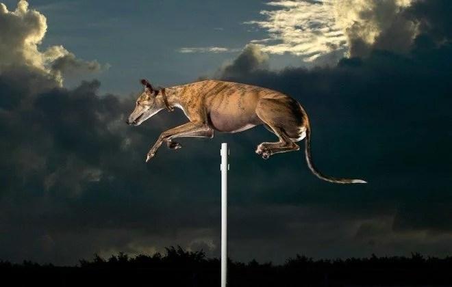 pula mais alto recorde cão - Qual o pulo mais alto feito por um cão?