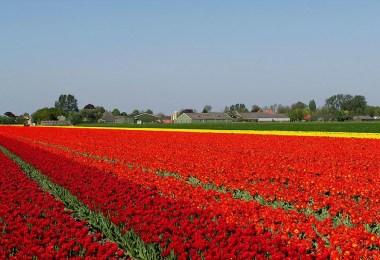 flower fields aerial photography netherlands normann szkop 1 - Show de cores nas fotos aéreas de tulipas holandesas