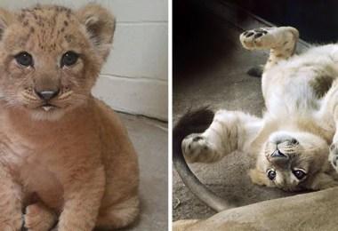 simba-verdade-na-vida-real-origina-lion-king-live-action-baby-simba-bahati-dallas-zoo-coverimage2