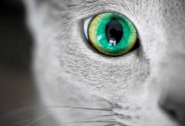 gatos mais lindo do mundo olhos magicos azuis perfeitos - Olhar felino: Gatos lindos têm olhos hipnotizantes