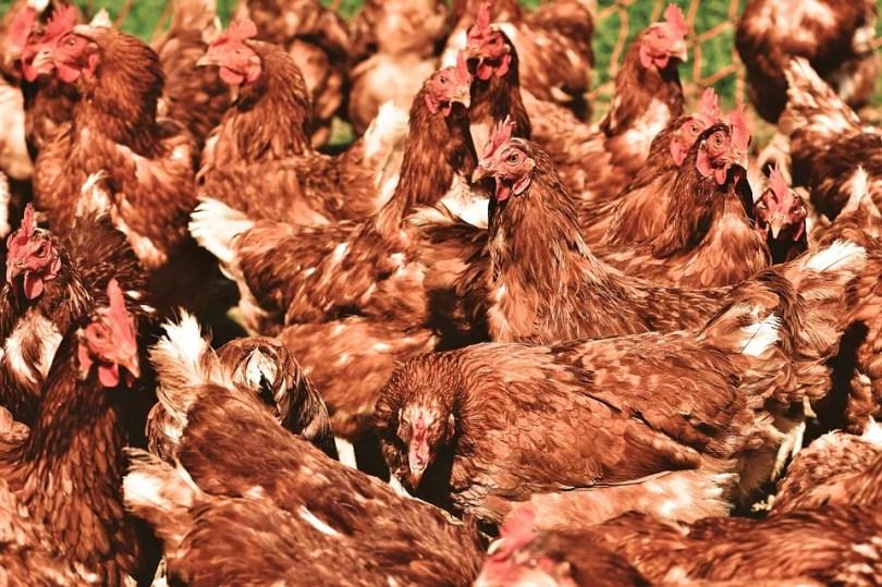 galinha2 - Homem compra acidentalmente 1000 galinhas de leilão on-line!
