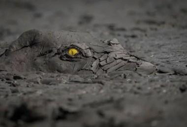 fotografia mais linda do reino animal 2020 crocodilo jacare - As melhores fotografias da Natureza - Concurso GDT 2020