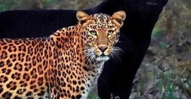 leopardo e pantera negra em foto rara 1595685292281 v2 450x600 - Fotógrafo tira foto rara de Leopardo e Panteras apaixonados