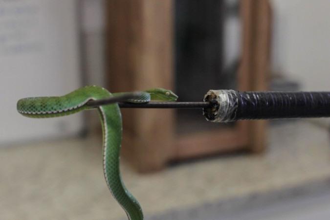 Víbora-verde-voguel: Serpentes são avaliadas no Instituto Butantan.