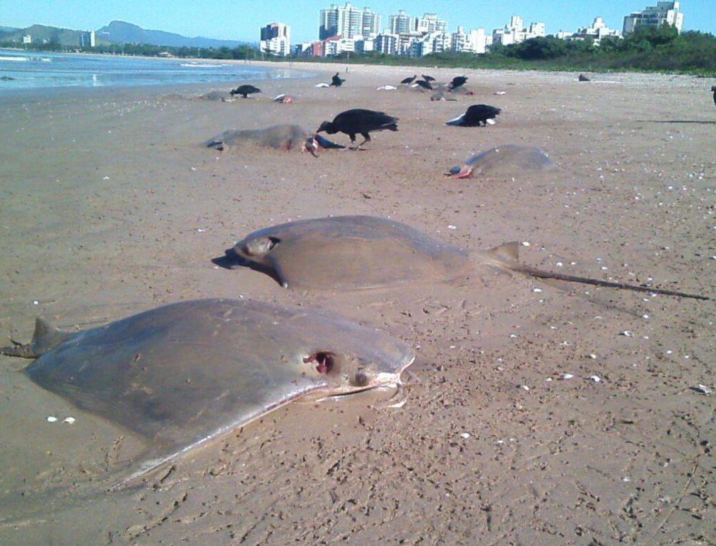 Como estavam algumas horas na praia, as arraias causaram mal cheiro e atraíram urubus