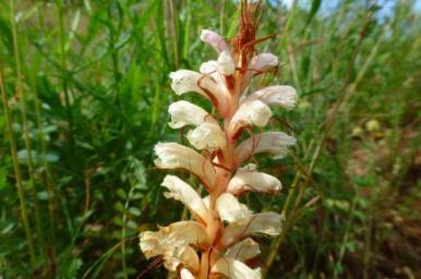Orobanche caryophyllacea