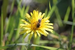 Dandelion flower