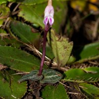 Threatened Plant Species - Disperis woodii