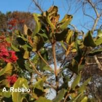 Threatened Plant Species - Curtisia dentata