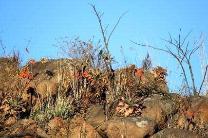 03 Flora Flower Aloe maculata IMG_6326