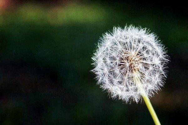 close-up-of-dandelion.jpg