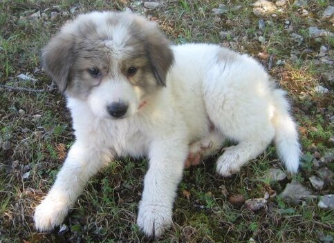 Livestock guard dog puppy, LGD