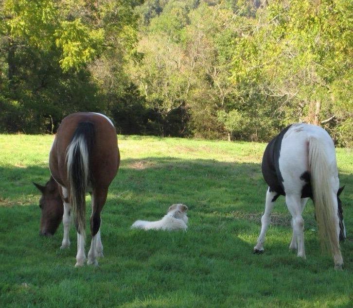 LGD Guarding Horses