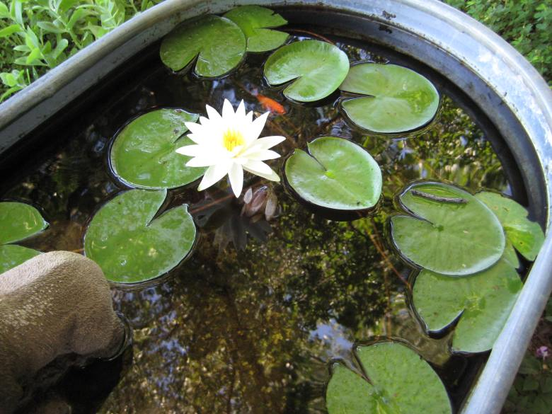 Water Lily in Garden Pond