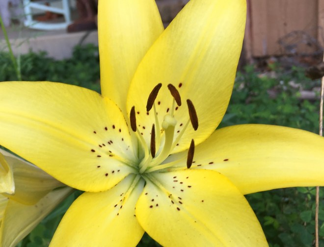 Mystery yellow lily by Mid-Life Blogger