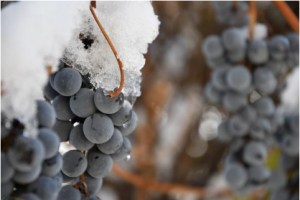 snow grapes vineyard