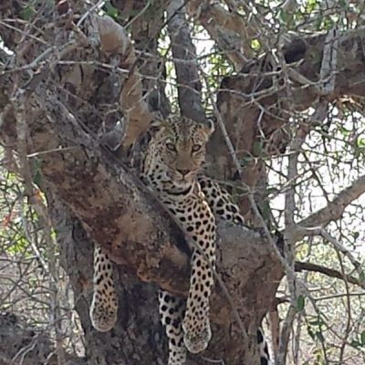 leopard Thornybush game