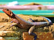 This colourful AGAMA LIZARD (about 30 cm long) was sunning itself on a rock near one of our toilet-stops.