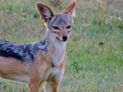 This little BLACK-BACKED JACKAL was foraging in the long grass, and seemed a bit camera-shy.
