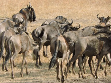 Here they are, the WILDEBEEST – not the prettiest animal we've encountered, but a much-loved lunch for lions and hyenas.