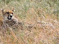 05-32 cheetah (1024x767)