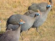 06-16 helmeted guineafowl (1024x778)