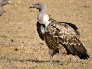 06-19 lappet-faced vulture (1024x768)