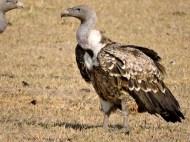 06-19 lappet-faced vulture (1024x768)