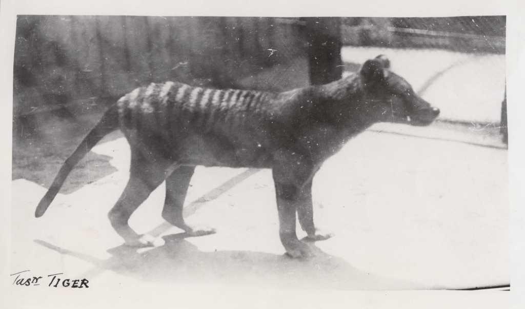 Benjamin Thylacine Tasmanian Tiger | Josh Mitchell | Midnight Quills