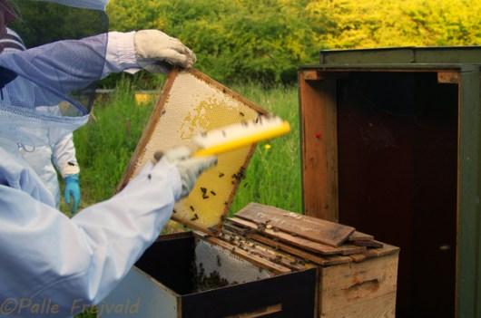 Bikosten svinges livligt så samtlige bier blev hjemme inden honningen kom til slyngning