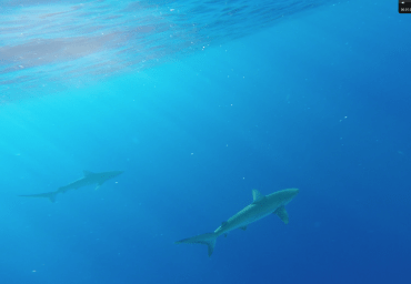 Swimming with Sharks