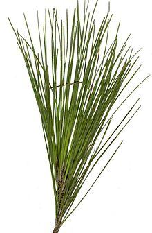 220px-longleaf_pine01