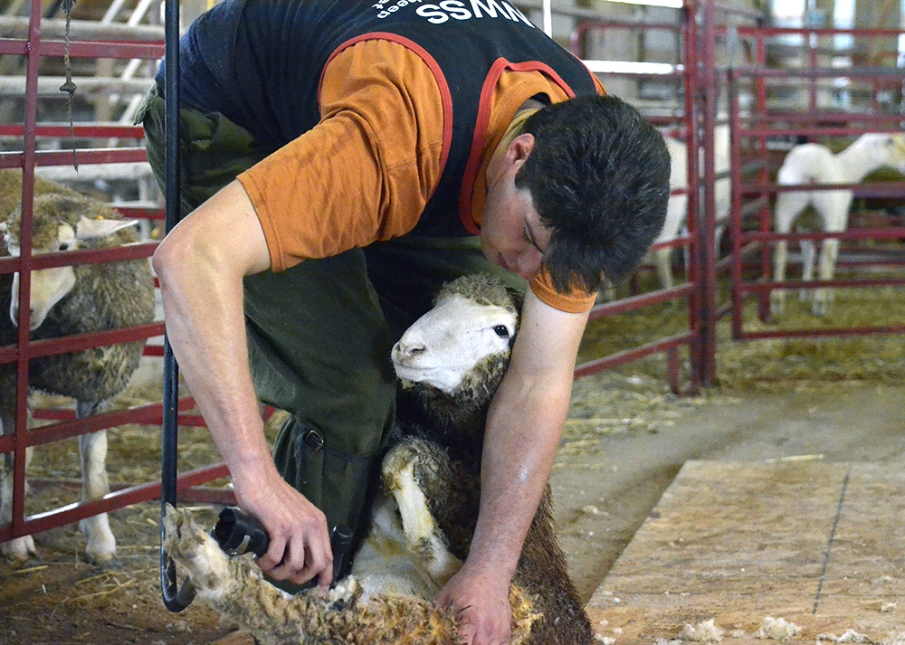 WSWF shearing