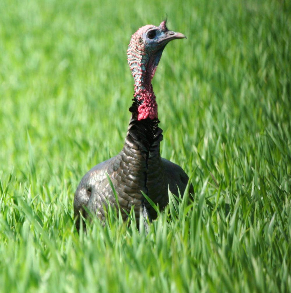 medium resolution of turkey