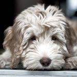 midwest-labradoodle-payment-jpg