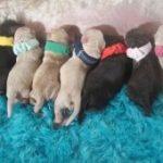 midwest-labradoodle-puppy-deposit-jpg