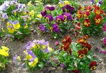 zdjęcie 2014-04-11-akcja-Polska-w-kwiatach@Głogów-01