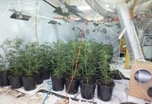 marihuana-plantacja marihuany
