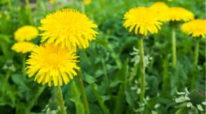 plante mellifere