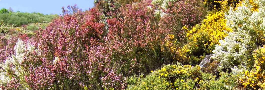 Arbusto del que se obtine la miel de brezo