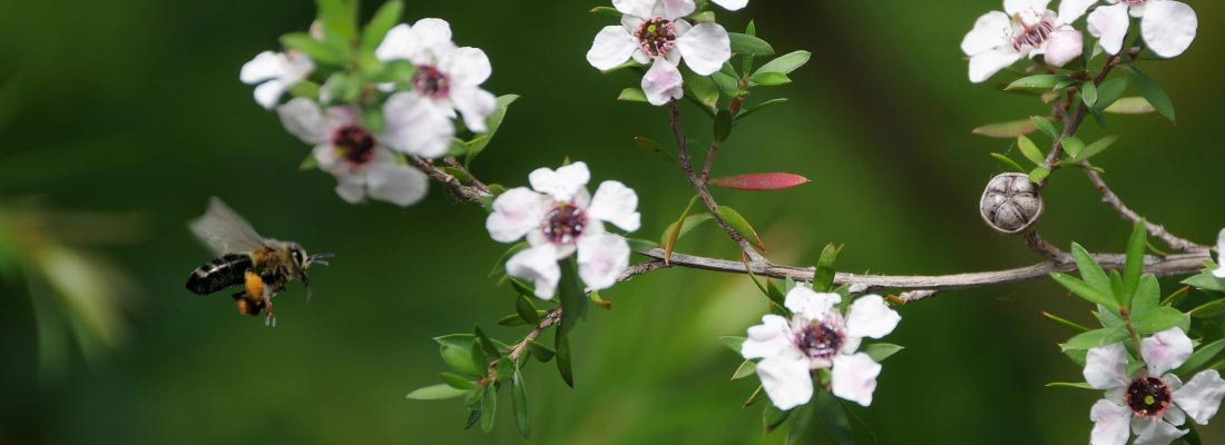 Flor del árbol de té del que se obtiene la miel de manuka