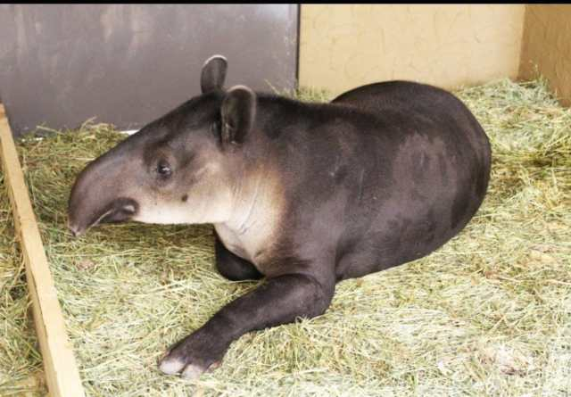 Llegan al Zoo León hembra de Tapir de Baird