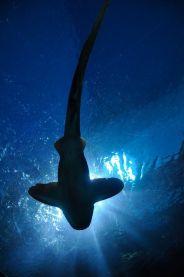 shark-164899_1280-pixabay