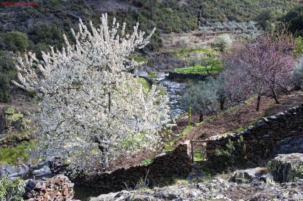 Floración de los cerezos en Las Hurdes