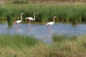 Donaña Cruise: Flamingos