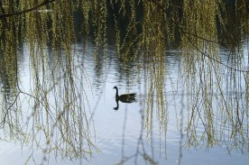 Goose framed by willow